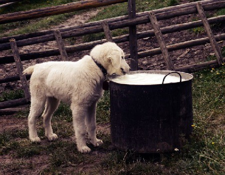 Can you give dogs milk to help with their constipation lactose intolerance