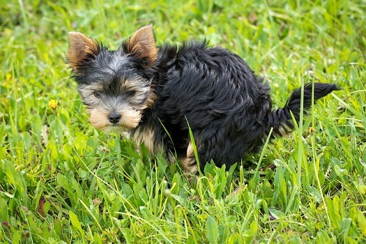Constipated dogs signs symptoms how to tell dog cannot poop needs more fiber
