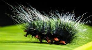 Can dogs eat caterpillars moths butterflies milkweed poisonous