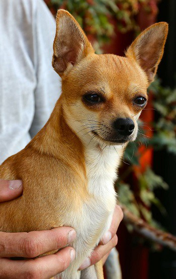 Suspicious chihuahua only eats the best tasting dog foods