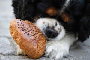 Yeast dough dangerous for dogs to eat expand in stomach