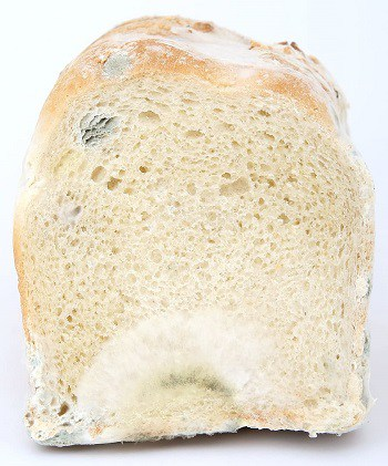 Can dogs eat moldy spoiled rotten bread food fungus