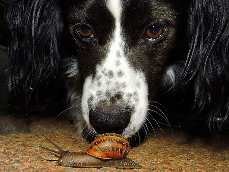 Can dogs eat snails contain parasites bad for dogs unsafe to consume