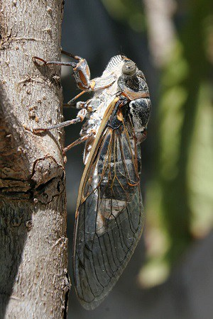 Is it safe for dogs to eat cicadas are they toxic poisonous dangerous