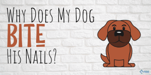 Why Does My Dog Bite or Chew His Nails?