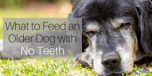 What to Feed a Dog with No Teeth
