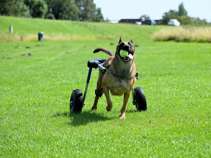 Pet insurance and pre-existing condition coverage is it possible to cover disabled dogs