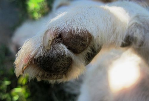 Dog nail discoloration guide why puppy claws turning white leukonychia