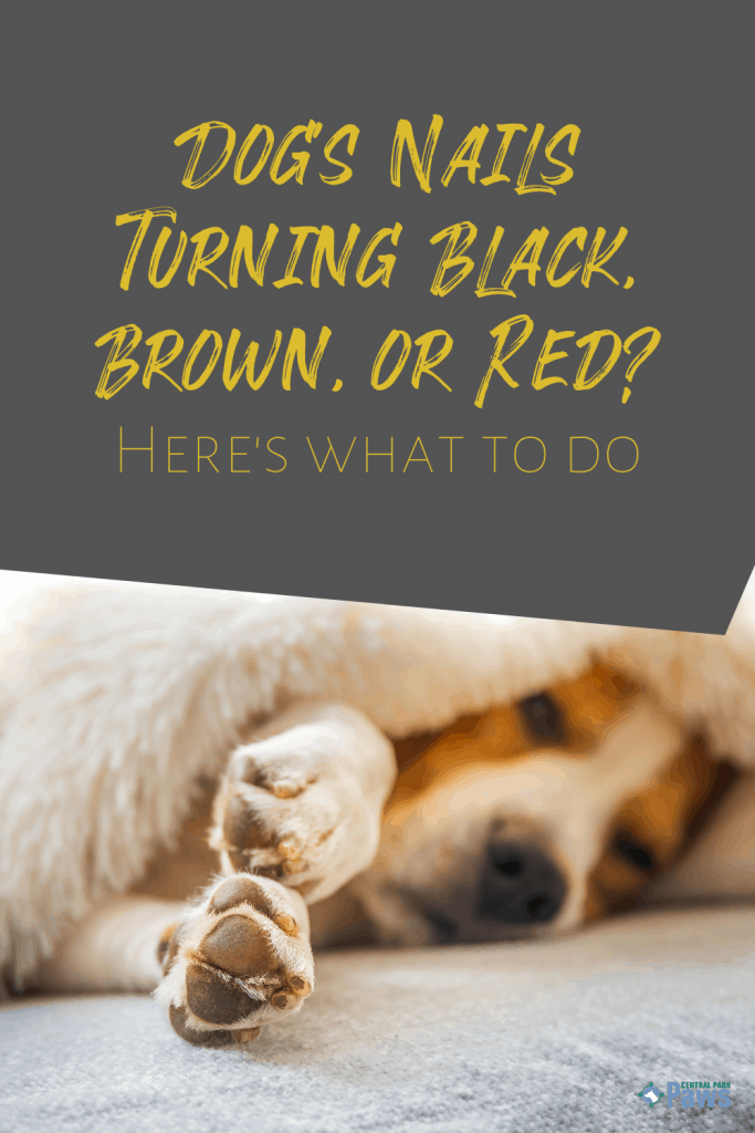Dog's Nails Turning Black, Brown, or Red - Pinterest