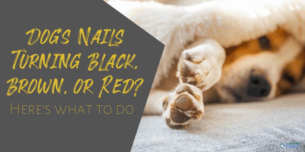 Dog's Nails Turning Black, Brown, or Red - Dog Nail Discoloration Guide