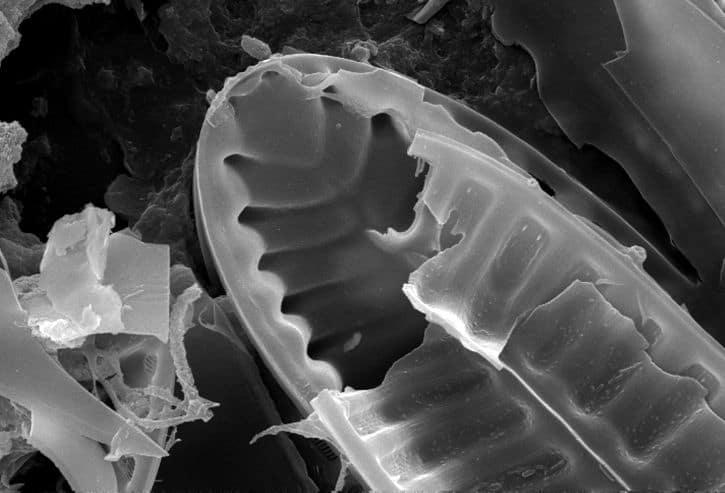 What is diatomaceous earth how does DE kill fleas tiny fossilized diatoms
