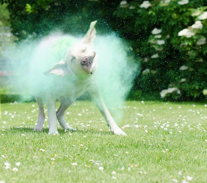 How to safely use baby powder kill fleas on dogs away from face