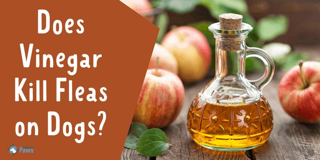 Does Vinegar Kill Fleas on Dogs
