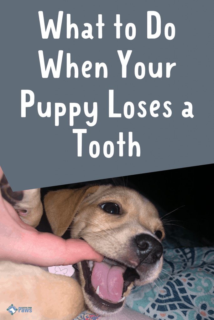 What to Do When Your Puppy Loses a Tooth Pinterest