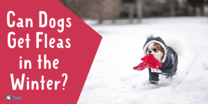 Can Dogs Get Fleas in the Winter