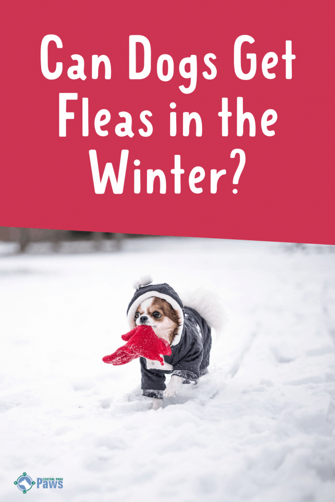 Can Dogs Get Fleas in the Winter Pinterest