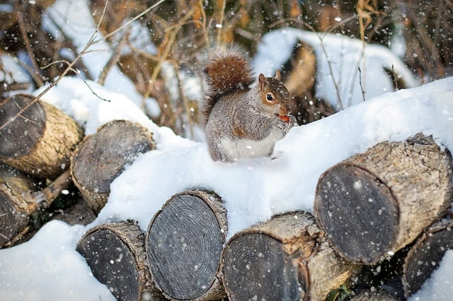 Squirrels can carry fleas in the winter woodpiles warm safe spots