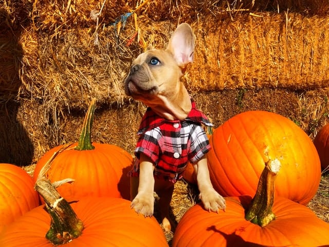 How much fiber dog food add pumpkin for healthier dog digestion