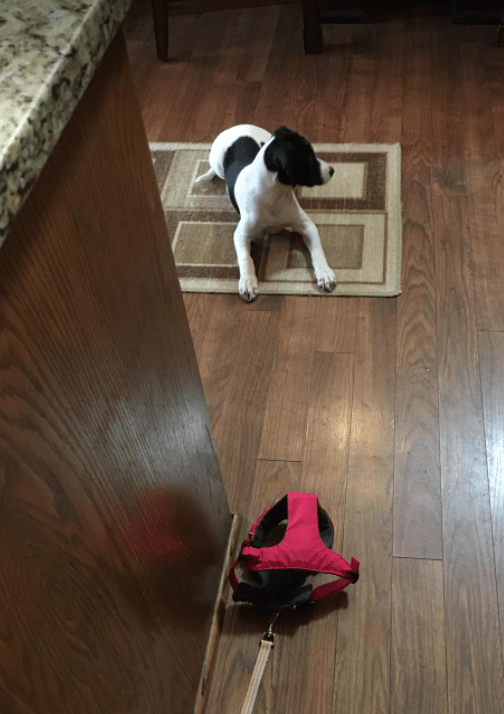 Dog escaped from harness