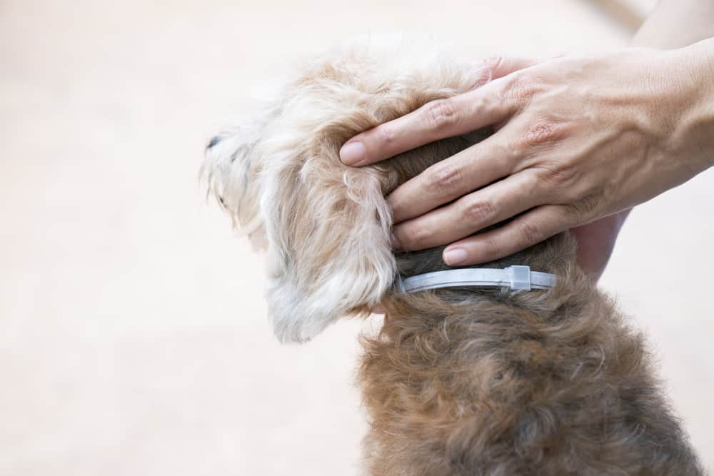 Are flea collars safe dangerous toxic chemical ingredients