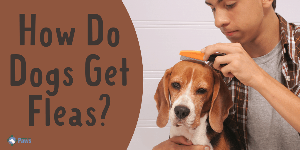 How Do Dogs Get Fleas and What to Do
